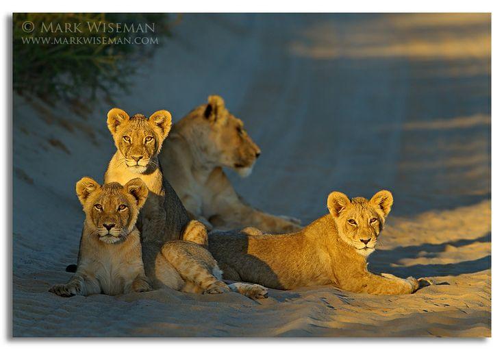 Lion cub portrait. Kwang pan, Kgalagadi Transfrontier Park. Botswana, Africa