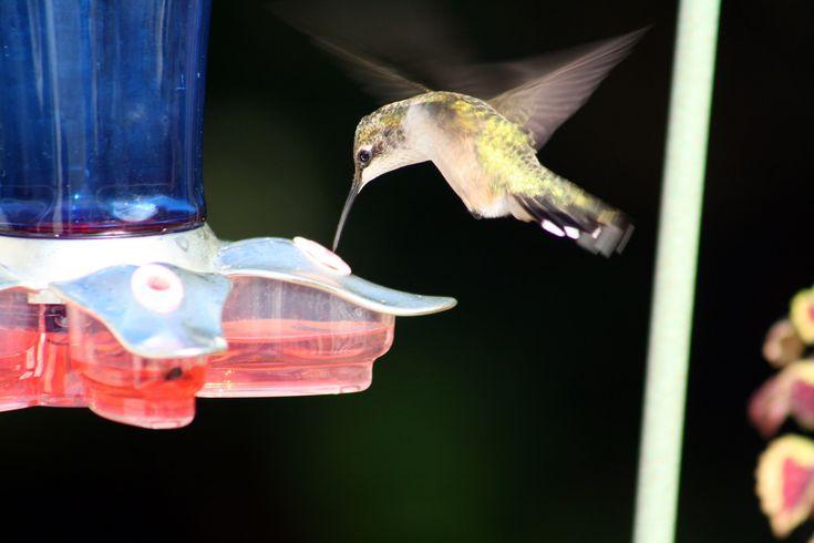 https://flic.kr/p/y2raAc   Hummingbird Feeding   Apparently it's a tasty treat.