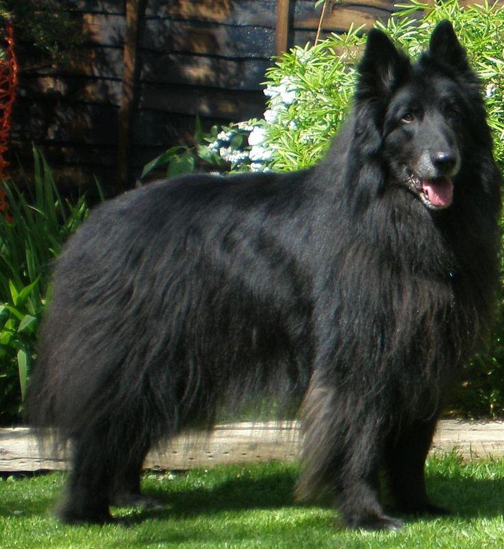 Het mooiste ras en de beste hond!