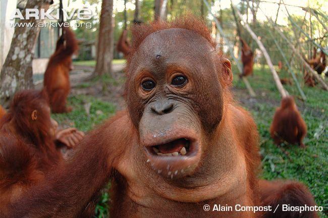 Southern Bornean orangutan (P. p. wurmbii) juvenile in rehabilitation centre