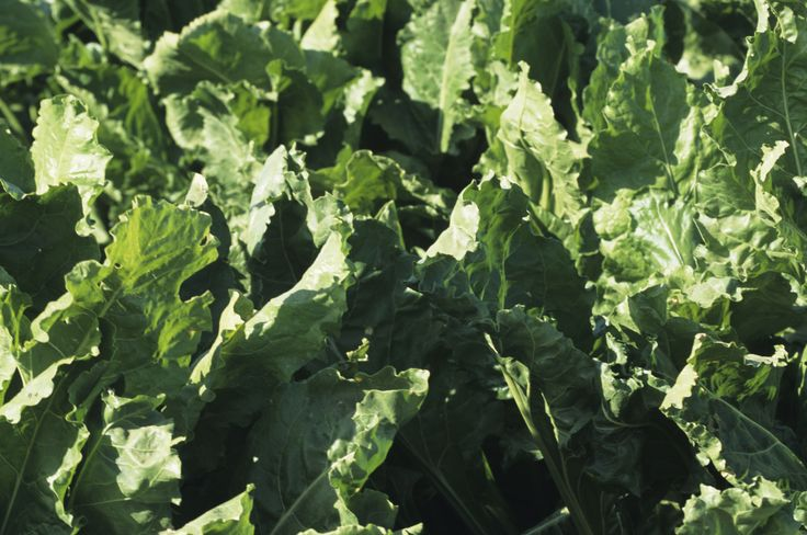 How to Stay Healthy Eating Collard, Mustard & Turnip ... Turnip Companion Plants