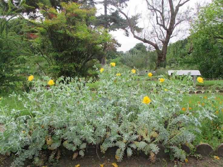 Botanic Garden - Sea Poppy, Glaucium flavum