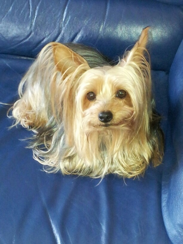 Yorkie Silky Mix Huey Silky Terrier And Other Cute