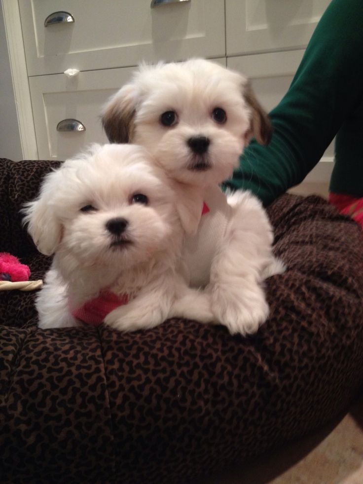 Swell 1000 Ideas About Teddy Bear Puppies On Pinterest Bear Puppy Short Hairstyles For Black Women Fulllsitofus