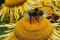 Bee on yellow flower of Telekia speciosa aka Buphthalmum salicifolium (Yellow Oxeye Daisy)