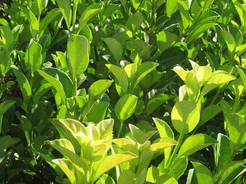 Viburnum mascantha - Hasta 3 mts, aguanta heladas, sol, crecimiento medio, perenne, resiste bien las podas, flores blancas pequeñas en Invierno
