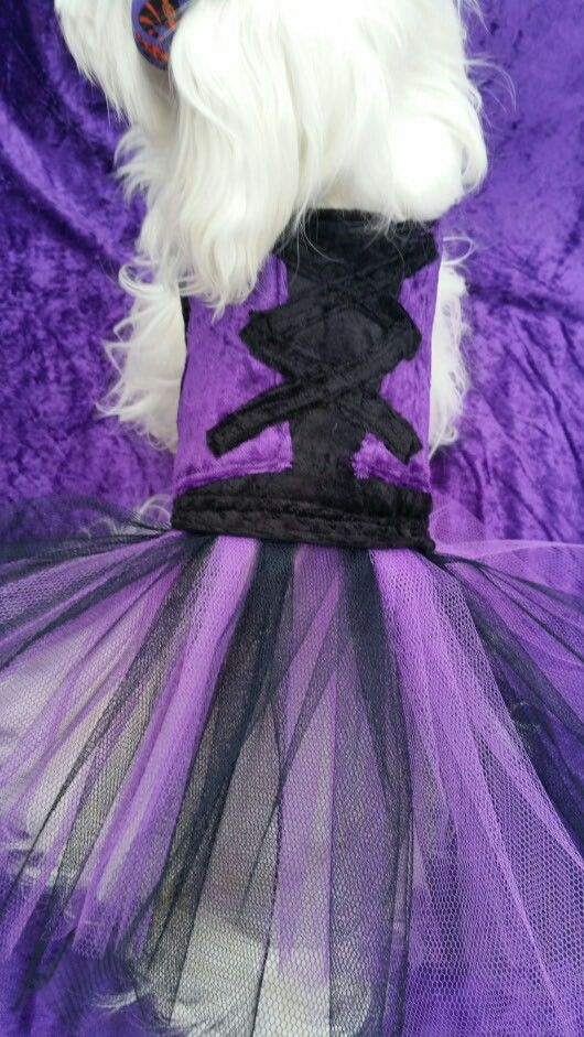 Witches dress for Halloween for you furbaby purchase from www.pixiesposhpets@yahoo.co.uk
