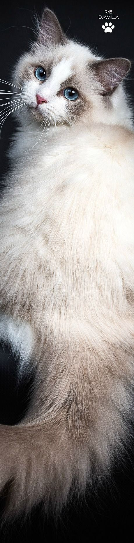 Ragdoll Cat - Tap the pin for the most adorable pawtastic fur baby apparel! You'll love the dog clothes and cat clothes! <3 Visit our site now!