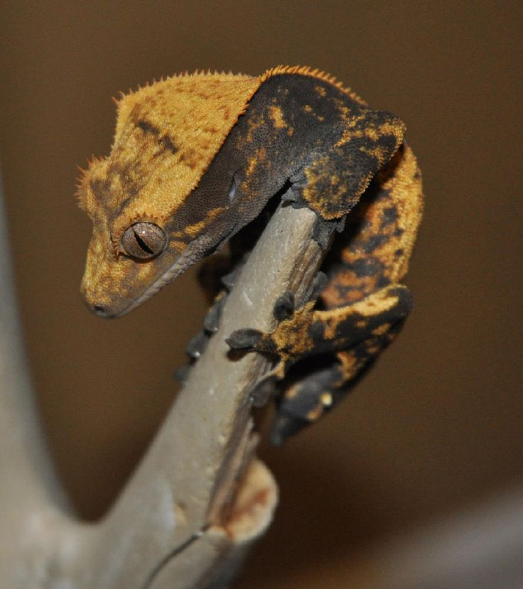 The 100+ best Geckos images on Pinterest | Crested gecko, Geckos and ...