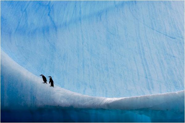 © Paul Nicklen - Penisola Antartica, Antartide   Due piccoli di pinguino antartico (Pygoscelis antarctica) sul fianco di un grande iceberg.  Inedita su National Geographic
