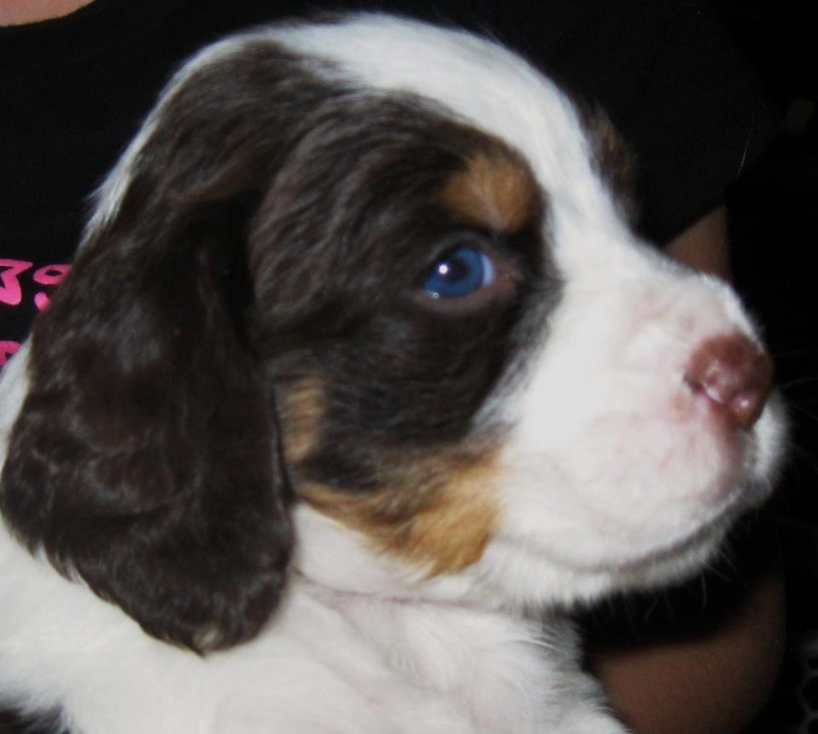 7 week old English Springer Spaniel ~ Bailey one of Maddy & Cires Puppies!