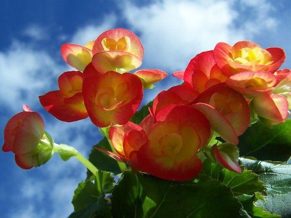 Китайская легенда гласит, что нежные цветы бегонии – это слезы влюбленной женщины. А практичные жители Гималаев используют красавицу-бегонию, как приправу для первых блюд. Мне кажется, что есть такую красоту – это уже слишком. Очень нежные и ярко окрашенные цветы.