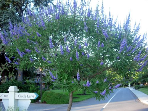 how to take care of a lilac tree