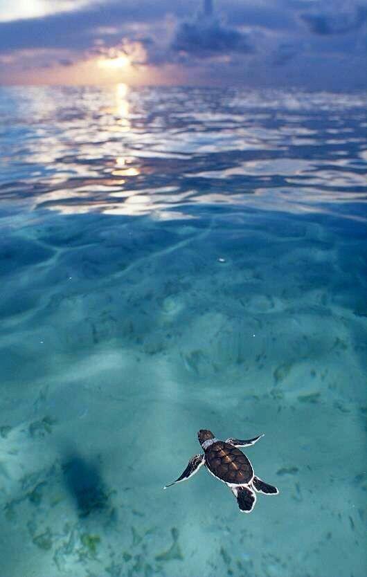 Sea Turtle @ Turtle Island, Fiji