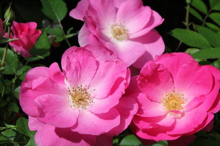 """""""Morden Centennial"""" Rose.  Glorious!"""