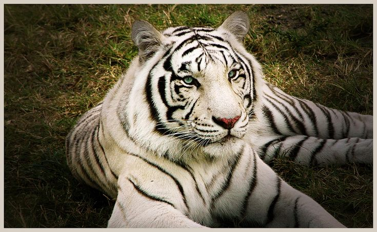 Biggest Tigers In The World - YouTube  |Biggest White Tiger In The World