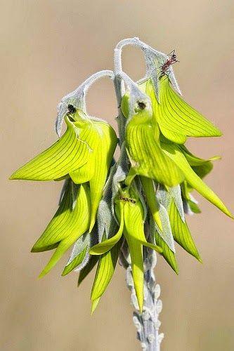 Australian Bird Flower