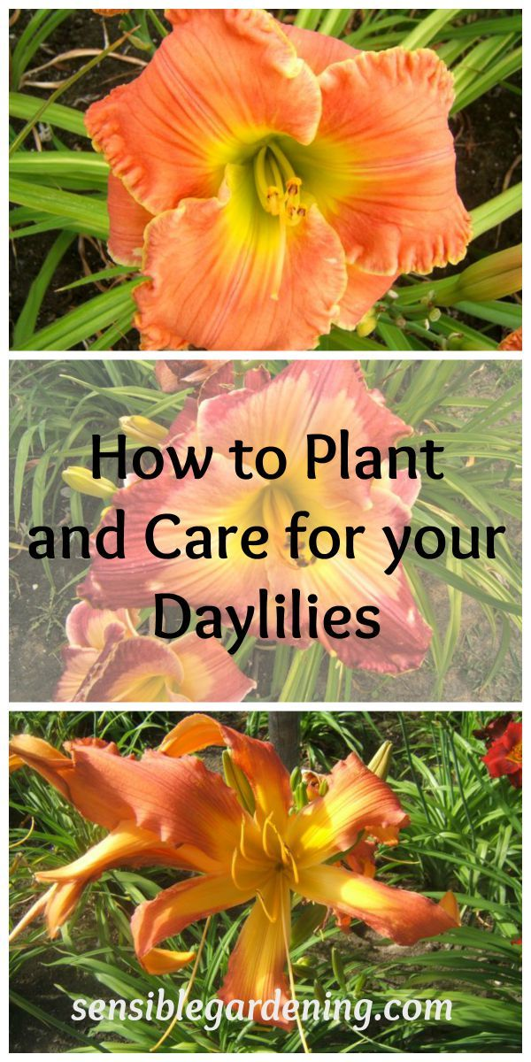 How to Plant and Care for your Daylilies