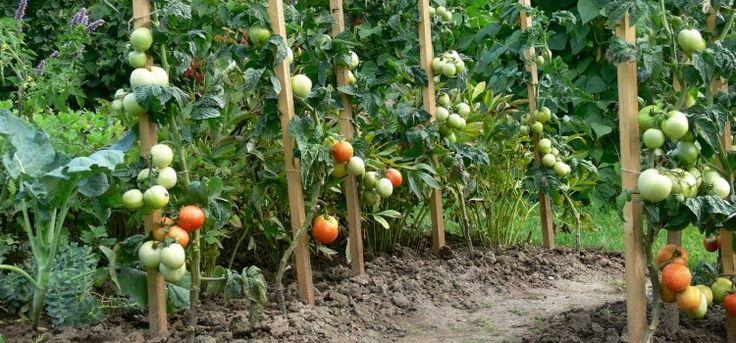 Борьба с фитофторой на помидорах – самые эффективные средства