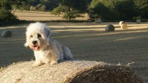 By the mid-1800s, the breed was known as the Dandie Dinmont Terrier, and became sought soon after for hunting following Scott's writings were published