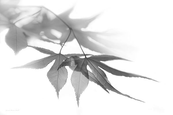 Soft gray Maple leaves design. Photography art for your home or office decor.