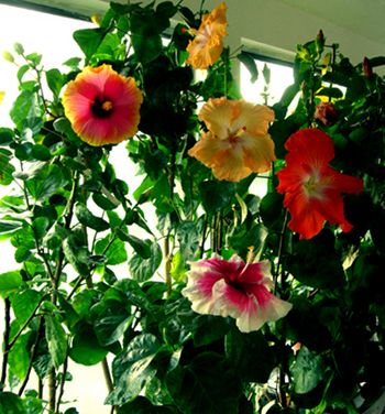 Hibiscus Houseplants