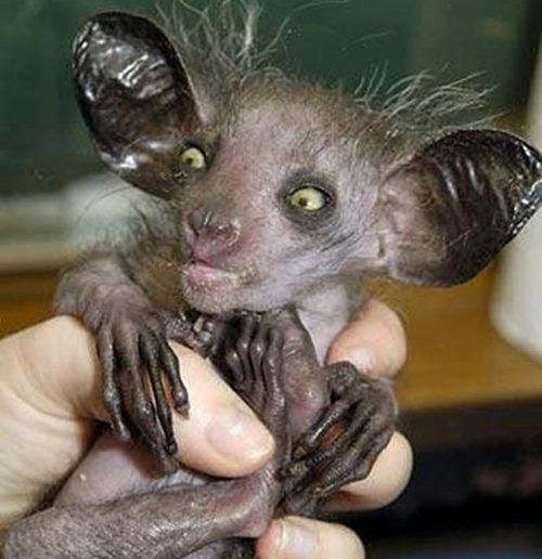 Aye-aye This gremlin-looking creature, called an Aye-aye, is actually a primate found in Madagascar.
