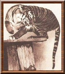 Javanese tiger
