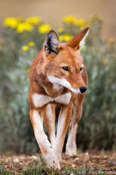 A male ethiopian wolf on the Sanetti Plateau  by Burrard Lucas (so cute, looks like he is wearing a giant bow tie. He is a proper wolf...lol. Love it <3)