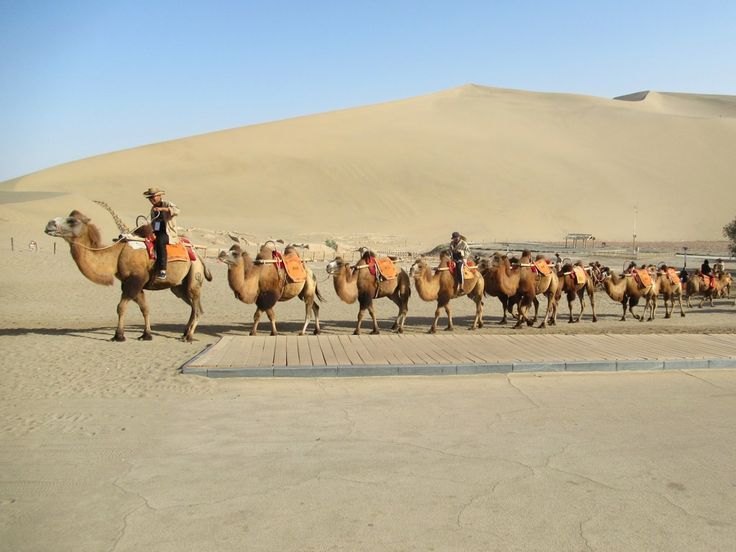 Tourists are carried up into the Mingsha Sand Dunes just south of Dunhuang, Gansu, China, on Bactrian camels such as these.