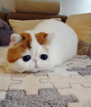 Exotic Shorthair (White & gold)