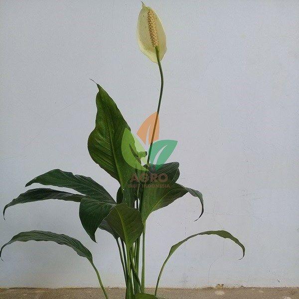 Tanaman Bunga Sepatu Filum Biasa Dijadikan Tanaman Hias Untuk Taman Dll Tanaman Hias Sepatufilum Melayani Eceran Grosir Dan Tanaman Kebun Bunga