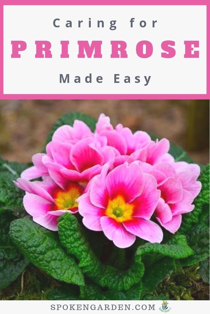 Primrose Care Can Be Easy With Our Basic Maintenance Guidelines