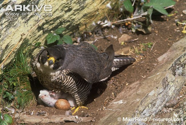 View a slideshow of photos of the Peregrine falconPeregrine Falcon