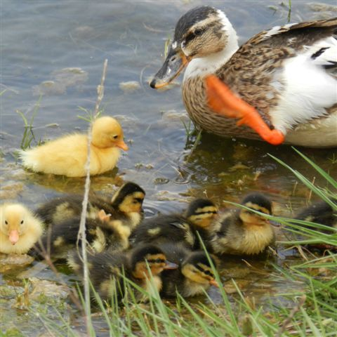 Ducklings at the Midfield dams. For more information visit www.midrand-estates.co.za