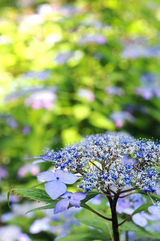 ⭐ blue green hydrangea . flowers bokeh rr16b