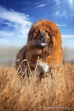 Mastiff tibétain