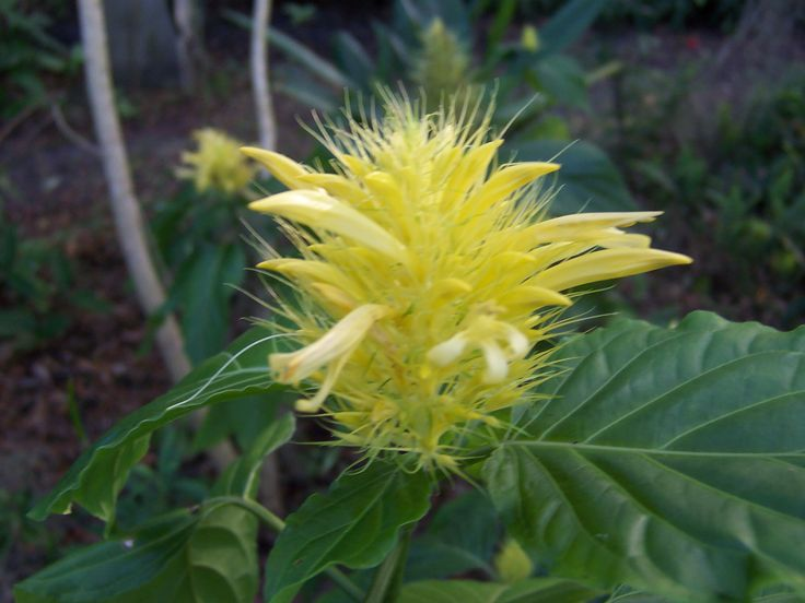 Yellow Jacobinia,  spreads slowly and blooms pretty much all year.