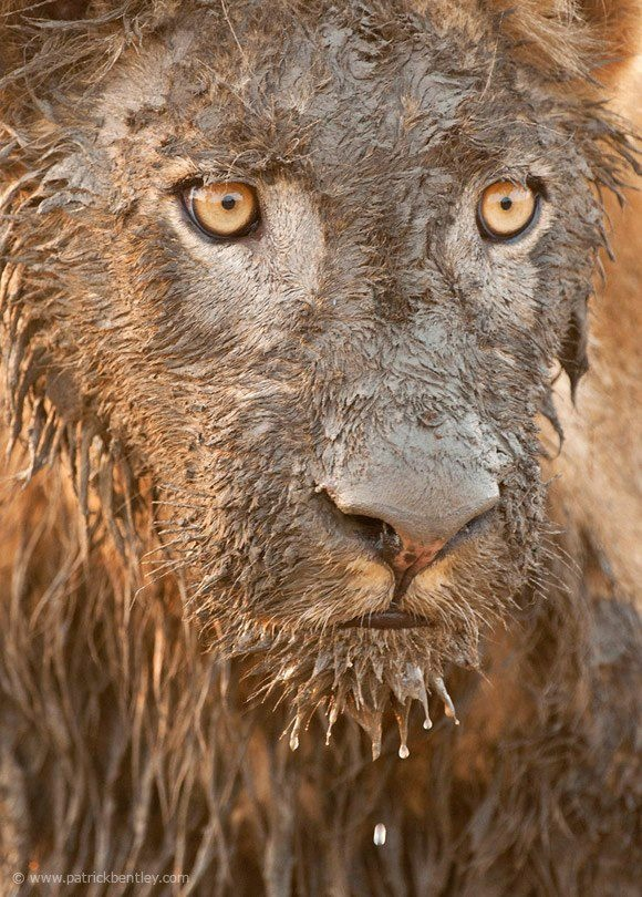 Muddy Lion won the 2012 Nature's Best Photography Award ~   Patrick Bentley Photography
