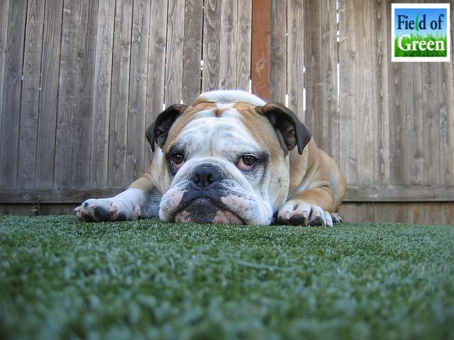K9 Grass is the perfect napping spot. This artificial grass is made special with animals in mind. It has excellent drainage and a special odor-fighting design. It's perfect for your backyard or commercial application. (scheduled via http://www.tailwindapp.com?utm_source=pinterest&utm_medium=twpin&utm_content=post346183&utm_campaign=scheduler_attribution)