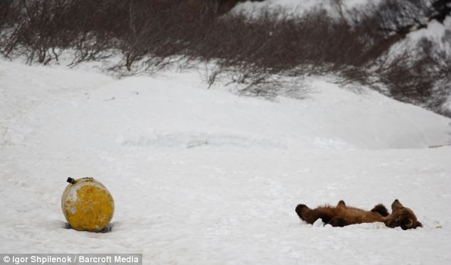 High on Fumes: A bear lies back in the 'nirvana' position in the snow after sniffing aviation fuel (Russia)
