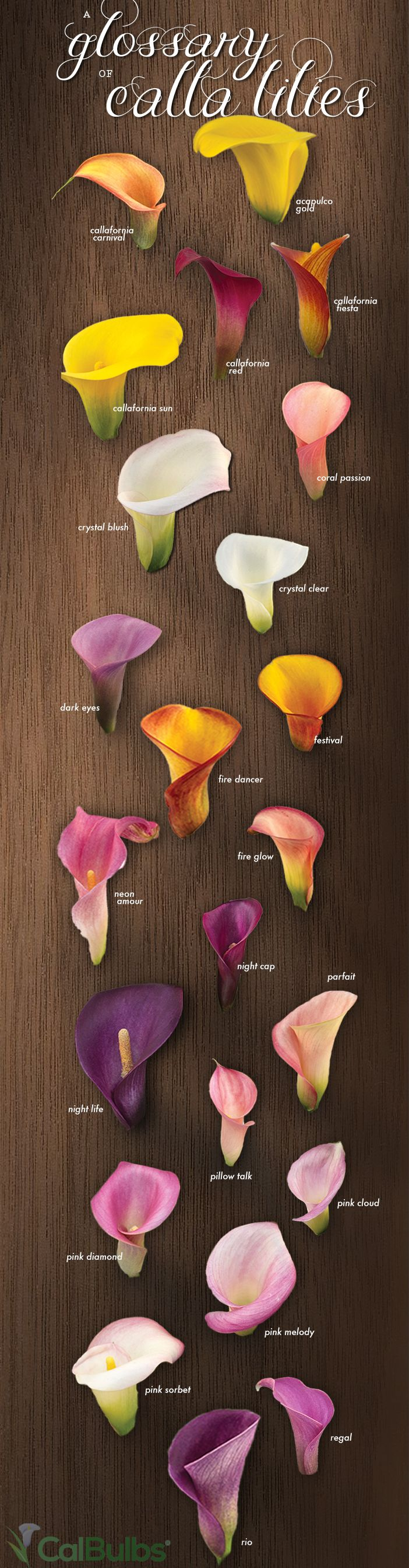 A Glossary of Calla Lilies - Calla Lily Colors Infograph! | CalBulbs.com