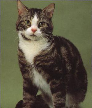 American Wirehair - The American Wirehair is distinguished by its coat.  As a result of a natural mutation, every hair is crimped and springy, including the whiskers.  The breed was developed from the American Shorthair, so apart from the coat, the two are very similar.