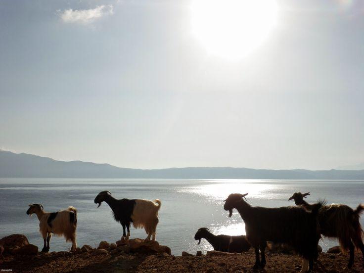 Balos and goats :-), Crete