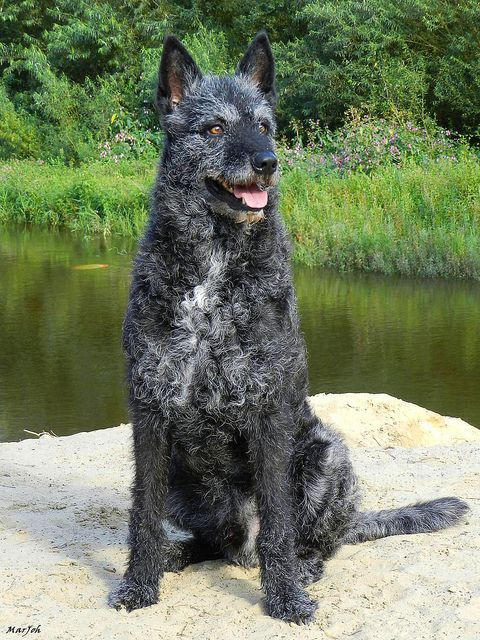 rough coat dutch shepherd | photo