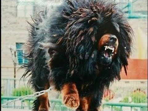Top  Dangerous Dogs In The World Video