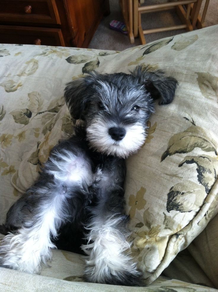 This is one super Adorable mini Schnauzer puppy! Link: https://www.sunfrog.com/search/?64708&search=schnauzer&cID=62&schTrmFilter=sales
