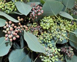 #Flatberry #Eucalyptus
