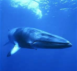 The Norwegian Ministry of Fishery and Coastal Affairs: STOP the Minke Whale Hunts. http://www.change.org/petitions/the-norwegian-ministry-of-fishery-and-coastal-affairs-stop-the-minke-whale-hunts?utm_campaign=action_box_medium=twitter_source=share_petition @sea Shepherd Conservation Society #defendconserveprotect