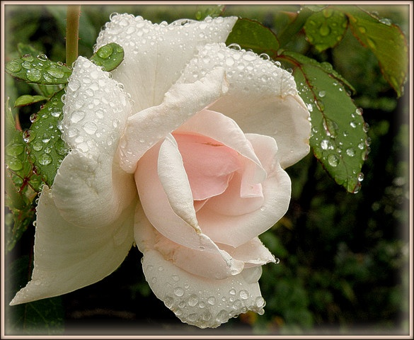 1000+ images about Beautiful Roses on Pinterest  Beautiful roses, Roses and  # Sunshower Rose_173655